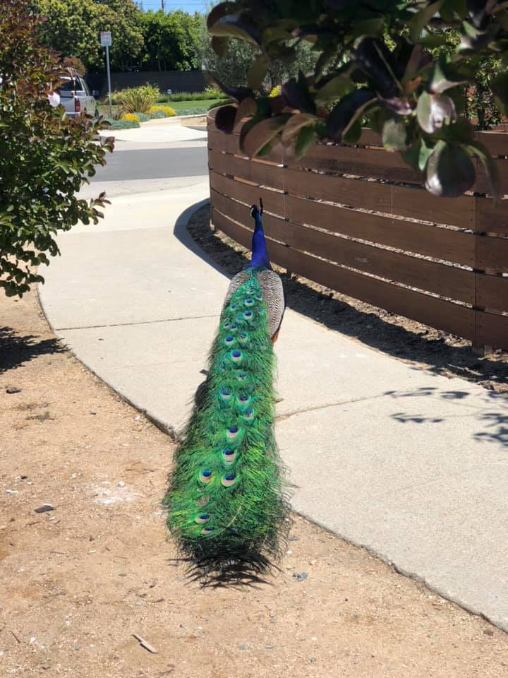 Have you seen the Mar Vista Peacock?